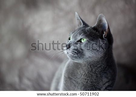 Portrait of a Russian Blue Cat, studio shot