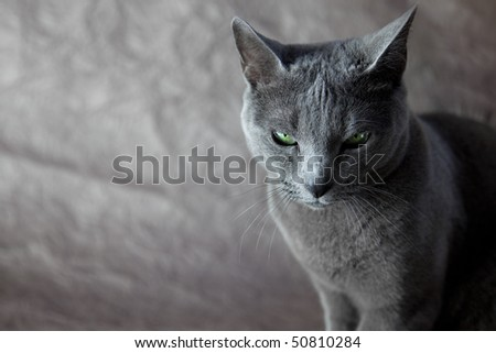 of a Russian Blue Cat,