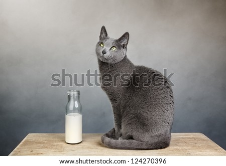 Portrait of a Russian Blue house cat with milk in bottle