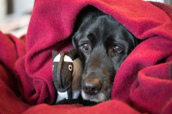 Portrait of a sad black lab dog wrapped in a cozy maroon fleece blanket, with a sheep chew toy