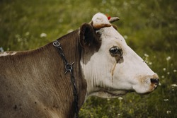 Portrait of a sad cow. The cow is crying