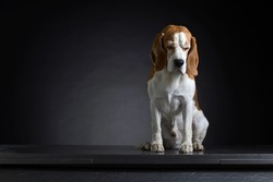 Portrait of a sad old dog on a dark background . Purebred adult Beagle .Copy space .