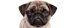 portrait of a sad pug puppy dog isolated on a white background