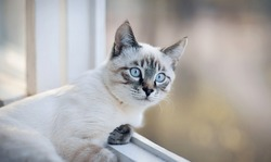 Portrait of a sad Thai cat on the windowsill.  A Thai-bred kitten. Small cat with blue eyes looking out the window.