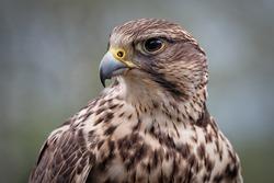 portrait of a saker falcon, sideview, falco cherrug