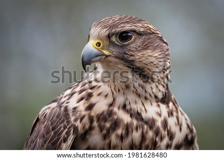 portrait of a saker falcon, sideview, falco cherrug Foto stock ©