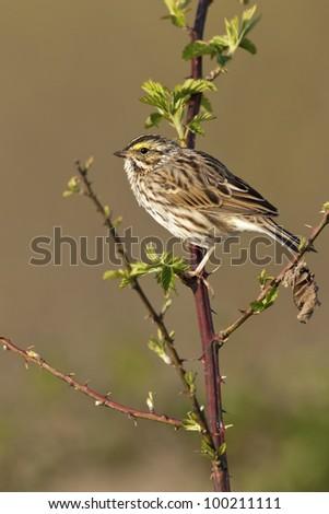 Portrait of a Savannah Sparrow (Passerculus sandwichensis).