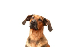 Portrait of a Schiller hound hunting dog on a white background.