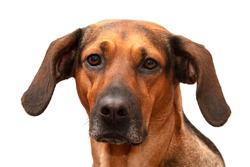 Portrait of a Schiller hound hunting dog on a white background, looking into the camera.