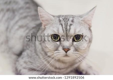 Portrait of a scottish fold cat.Face of scottish fold cat #1291892506