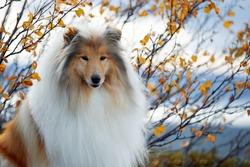 portrait of a Scottish shepherd on a beautiful background