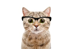 Portrait of a Scottish Straight cat with glasses, closeup, isolated on white background