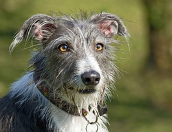 portrait of a scruffy and comical, but beautiful looking mixed breed deer hound, lurcher dog