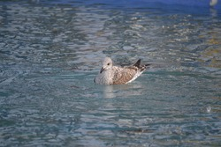 Portrait of a seagull in a swimming pool
