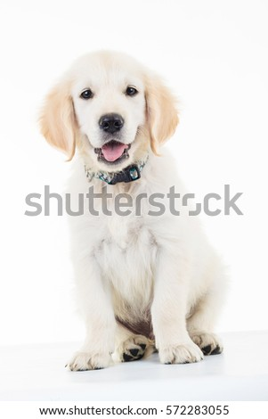 Portrait Of A Seated Panting Golden Lacrador Retriever Puppy Dog In