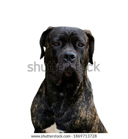 portrait of a serious noble dog of the breed of cane obliquely Young adult male breed looks at camera Isolated on white background Stock fotó ©