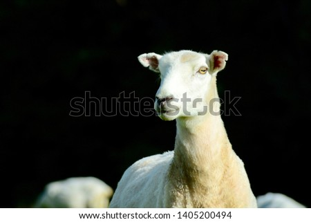 Portrait of a sheep after haircut. Free-range farming, sustainable farming.