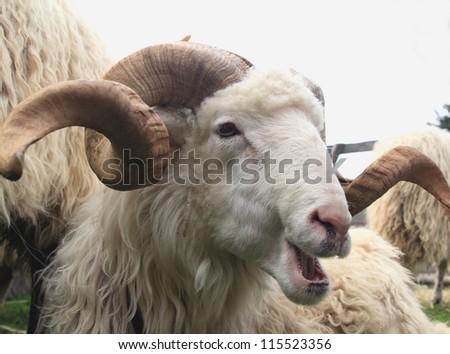 portrait of a sheep ram