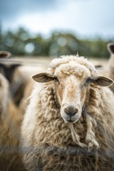 portrait of a sheep standing in a herd