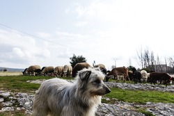 Portrait of a shepherd dog guarding a herd of sheep and goats. Rural tourism concept.