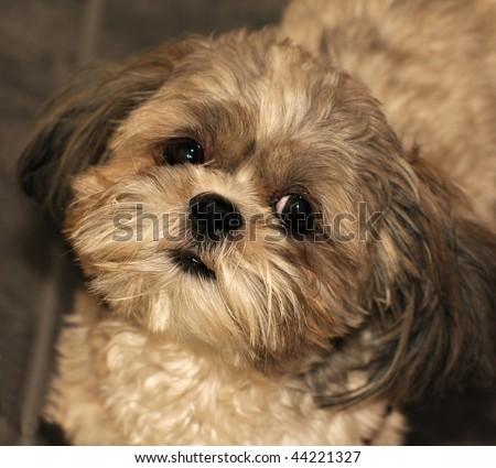 Shih  Puppies on Stock Photo   Portrait Of A Shih Tzu Puppy Looking Directly Into The