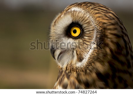 Portrait of a short eared owl