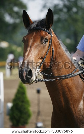 Portrait of a show jumper sport horse during competition