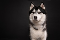 Portrait of a siberain husky dog on a black background