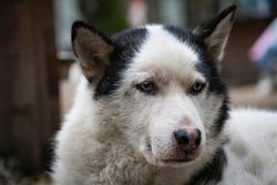 Portrait of a Siberian Husky with blue eyes.