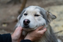 Portrait of a Siberian Husky with blue eyes being stroked by a woman.