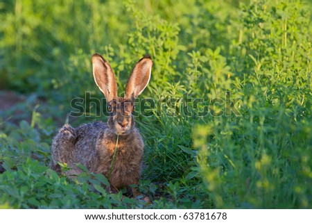 Portrait of a sitting brown hare (lepus europaeus).