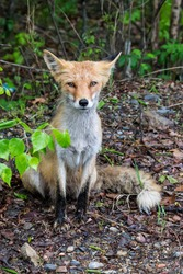 portrait of a skinny red fox along the road. skinny red fox begging for food near the road. Hungry wild animals.