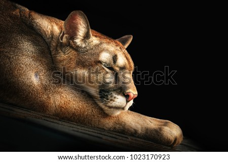 Portrait of a sleeping cougar on stones on a dark background. close-up.
