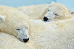 Portrait of a sleeping polar bear cubs.