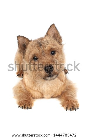 Portrait of a small dog (Norwich Terrier).  #1444783472