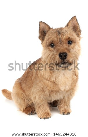 Portrait of a small dog (Norwich Terrier).  #1465244318