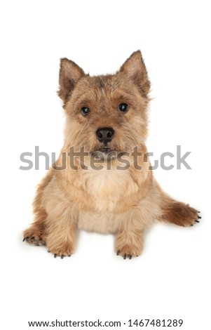 Portrait of a small dog (Norwich Terrier).  #1467481289