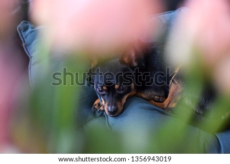 Portrait of a small dog. Pink flowers in the foreground. Blurred foreground #1356943019