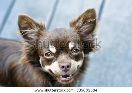 Portrait of a smiling longhair chocolate chihuahua - shallow dof - focus on eyes