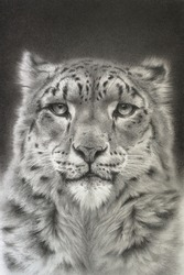 Portrait of a snow leopard. Realistic drawing