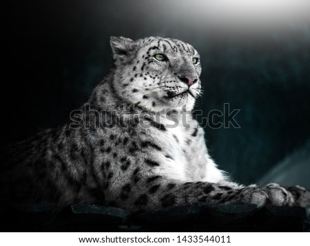 Portrait of a snow leopard. Turquoise background. Beautiful picture.