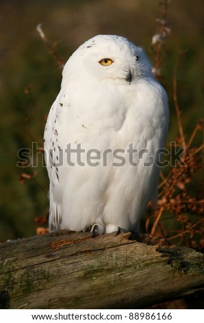 Portrait of a Snowy Owl - also know as Arctic Owl, Great White Owl or Harfang.