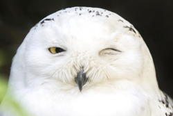 Portrait of a snowy owl, Bubo scandiacus, winking with on eye closed