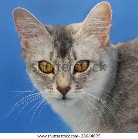portrait of a somali cat
