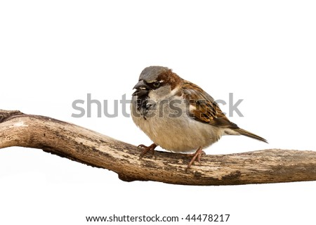 portrait of a sparrow eating a sunflower seed; white background
