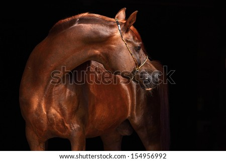 Portrait of a splendid purebred Arabian stallion against a black background