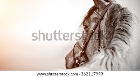 Portrait of a sports stallion in a bridle. #362117993