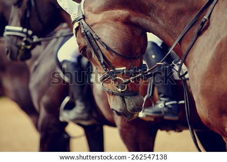 Portrait of a sports stallion. Riding on a horse. Thoroughbred horse. Beautiful horse. #262547138