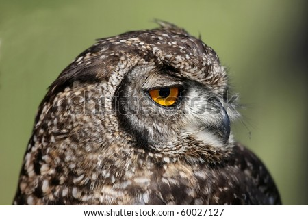 Portrait of a Spotted Eagle Owl with large round yellow eye