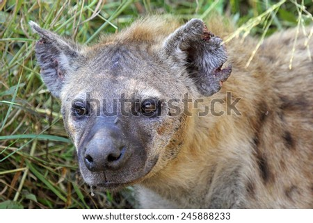 Portrait of a spotted hyena, Crocuta crocuta. Also unknown as laughing hyena it is a scavenger predator of the savannah